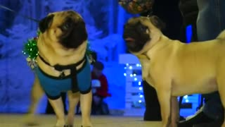 Pugs hit fashion runway at Christmas market in Kiev, Ukraine - Video