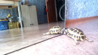 Turtle attempts to make contact with mirror reflection  - Video