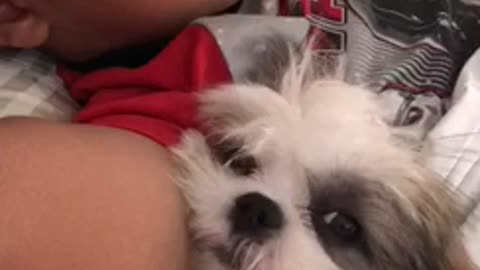 Shih Tzu puppy preciously naps with human best friend