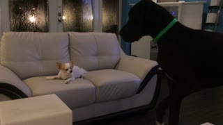 Chihuahua refuses to share treat with Great Dane - Video