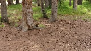 Squirrel takin by crow
