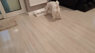 Jack Russell Terrier dog brings a bowl and asks for a snack