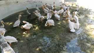 Male Alpha Pelican Shows Off His Wings In Packed Group