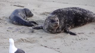 Seal Gives Birth While Seagull Watches On
