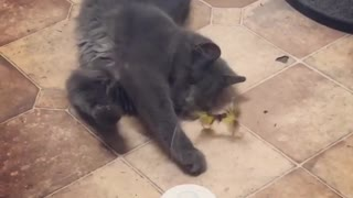 Cat playing with Butterfly - Video