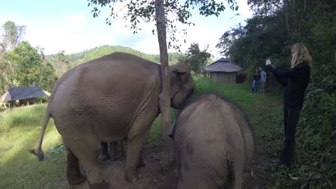 Asian Elephant scratches her huge ears on a tree until she is interrupted by her baby