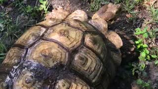 Tortoise refuses to let shell be cleaned - Video