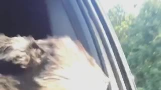 Black dog head out of window - Video