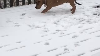 Pitbull Puppy Plays in Snow for First Time - Video