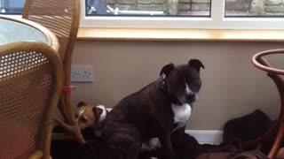 Brown dog laying down on floor - Video