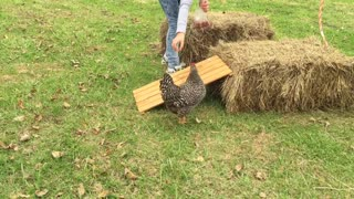 Girl Coaxes Chicken Through Obstacle Course - Video