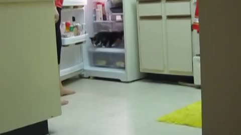Cat's favorite hangout is inside the refrigerator