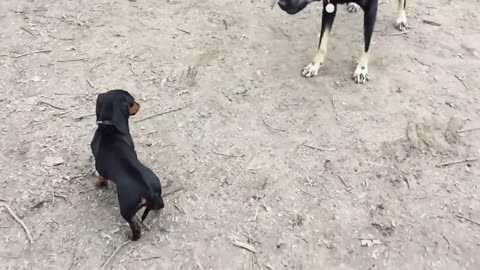 Tiny puppy stands up to her bully