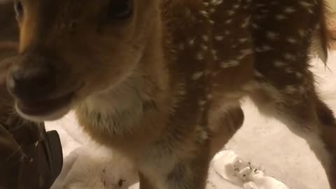 Adorable fawn yawns for the camera