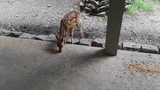 Doe and Starving Fawn Close-Up