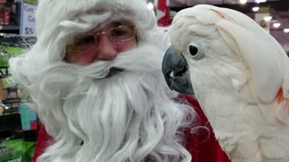 Moluccan Cockatoo adorably meets Santa Claus