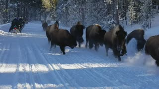 Snowmobiles Observe Bison Running Through Snow - Video