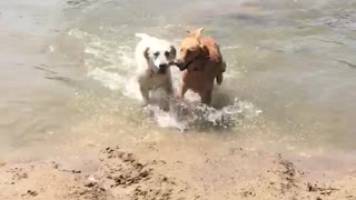 Puppies playing in the river