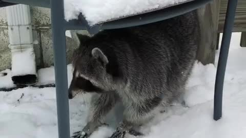 Raccoon is ready for a snowball fight