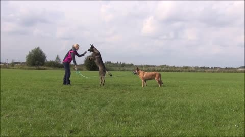 Dog & owner hold rope while other dog jumps