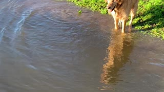Determined doggy tries to retrieve ball without getting wet