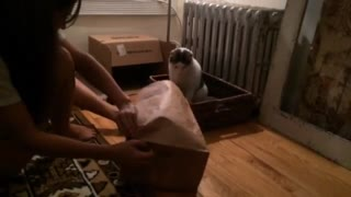 Cats being cats. Fail jump into brown bag. - Video