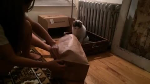 Cats being cats. Fail jump into brown bag.