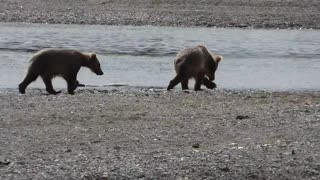 Grizzly Cubs Play - Video