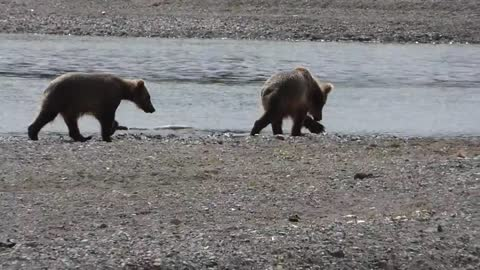 Grizzly Cubs Play
