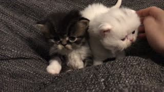 Persian Cute Kittens  - Video