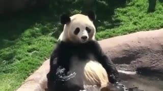 Panda enjoy great pool time at the garden