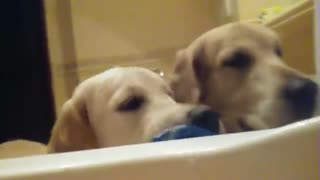 Golden Retrievers invade owner's privacy during bath time