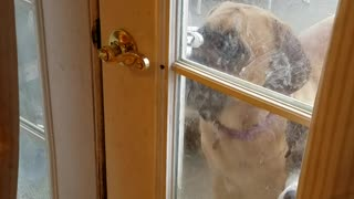 Lily The Mastiff casually opens back door - Video