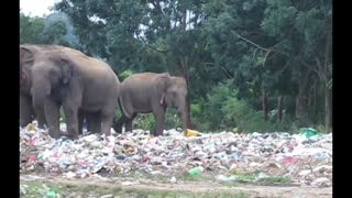 Elephant seen eating plastic bags of rubbish  - Video