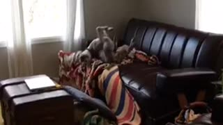 Brown dog rolling on couch falls off unto floor