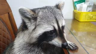 Raccoon sits at the table like a human, rubbing his little hands together and eating cabbage.