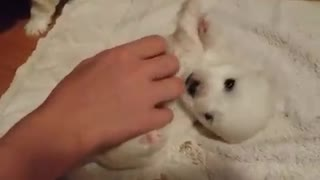 Little puppy loves to cuddle very much  - Video
