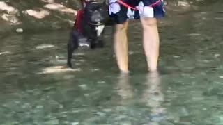 French Bulldog Air-Swims When Held Over Water