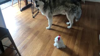 Malamute sings along to musical holiday stuffed animal