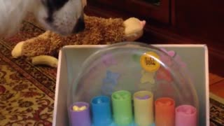 Black white dog stares at toy while owner plays with it