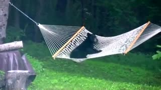 Baby bear caught playing on hammock - Video