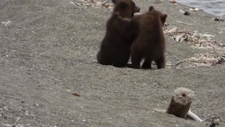 Hiker Is Followed By Grizzly Mom And Her Two Cubs - Video