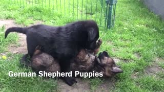 German shepherd dogs are fighting