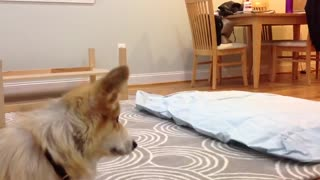 Corgis and air mattresses just don't mix!