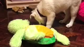 Husky puppy on wood floor nose butts hits camera - Video
