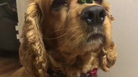 Brown cockerspaniel green treat on nose