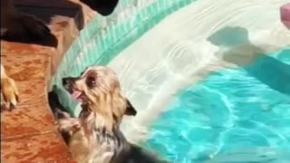Big Dog Helps Little Pooch Out of the Pool