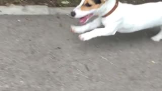 Cute puppy running on street - Video
