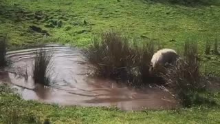 White dog running and jumping around pond getting muddy  - Video