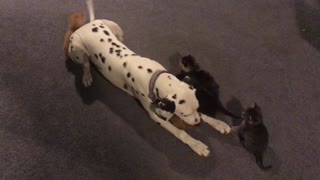 Foster feline family adore Dalmatian pup - Video